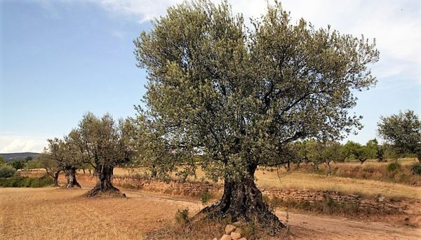 Olivos del Somontano